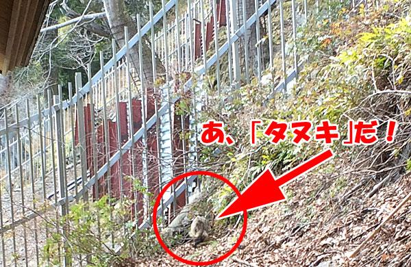 神奈川県伊勢原市・大山登山「阿夫利神社駅のトイレ近くにてタヌキを発見」