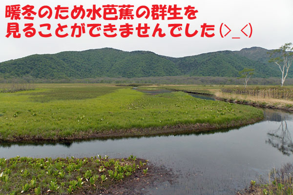 尾瀬ヶ原の水芭蕉の群生地