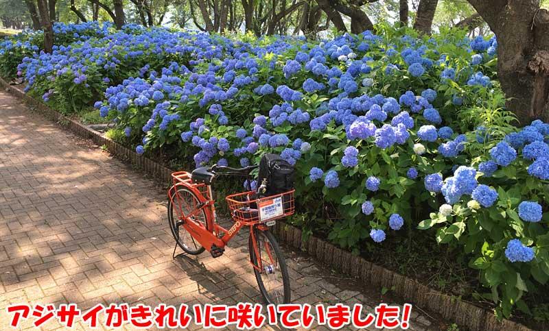 ブルーの紫陽花がとてもきれいでした