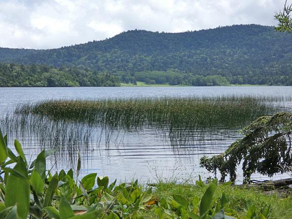 尾瀬沼に生える水草