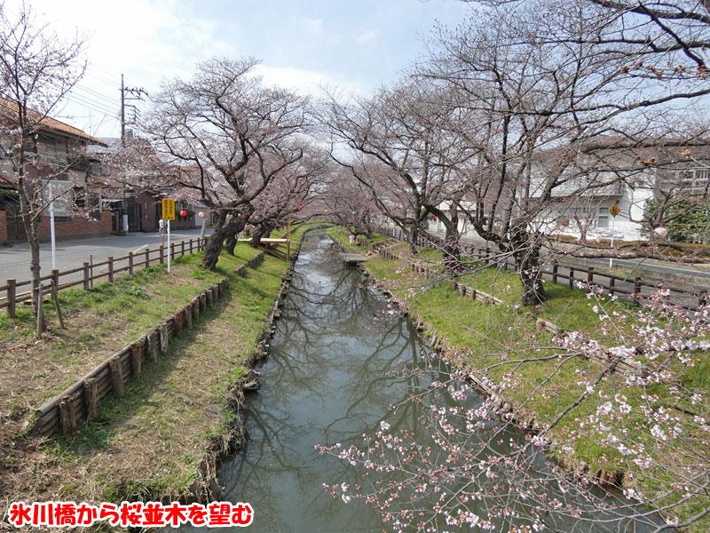 氷川橋から桜並木を望む
