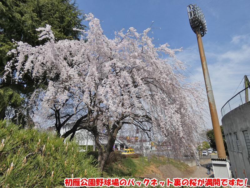 初雁公園野球場のバックネット裏の桜は満開でした