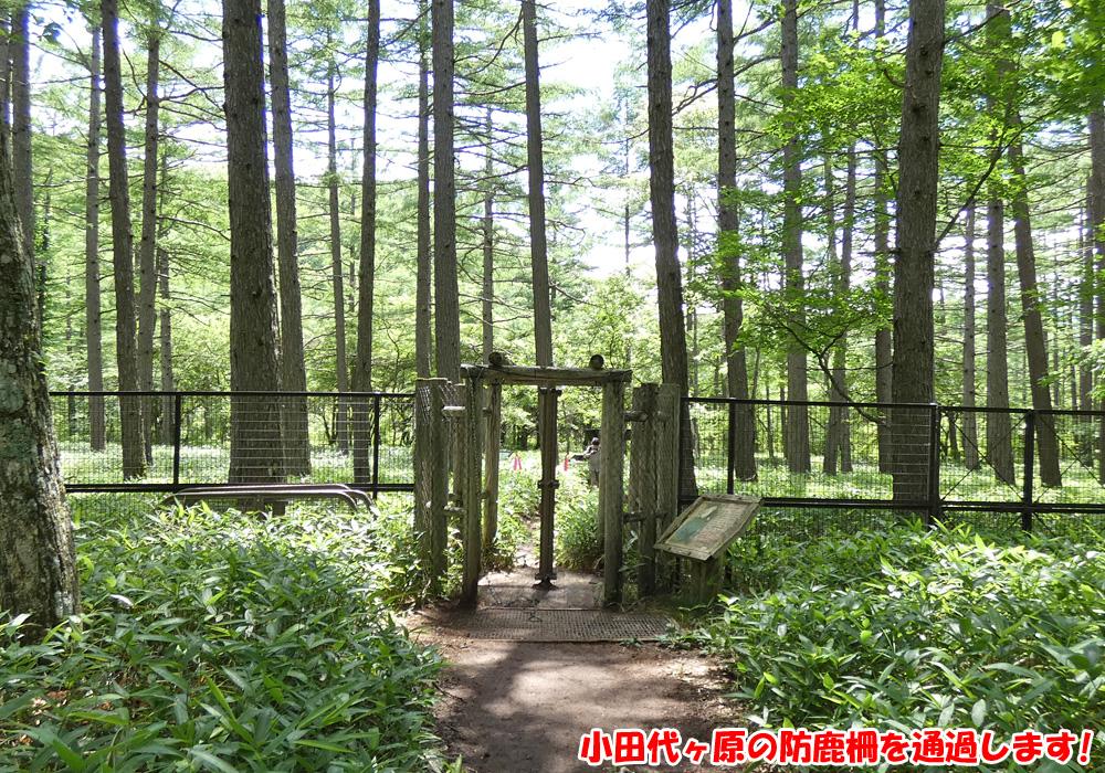 小田代ヶ原の防鹿柵を通過します!